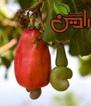 فروش عمده بادام هندی درختی